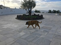dogs from free in Greece. they couldn't care less about humans. they have their own things to do.